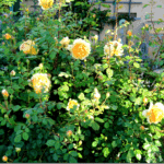 My favorite Garden Roses… The Yellows