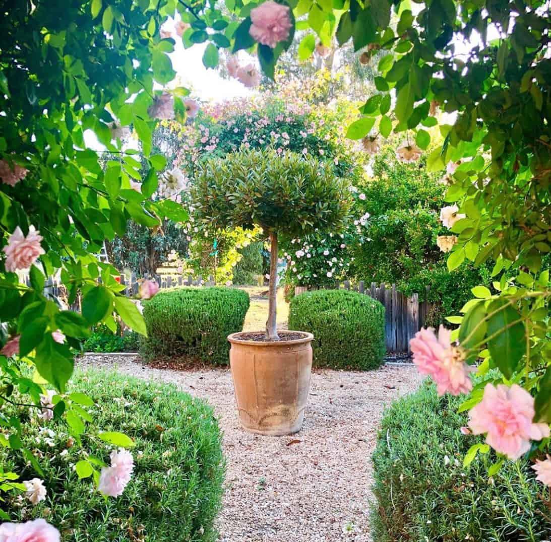 bay tree inside rose arbor