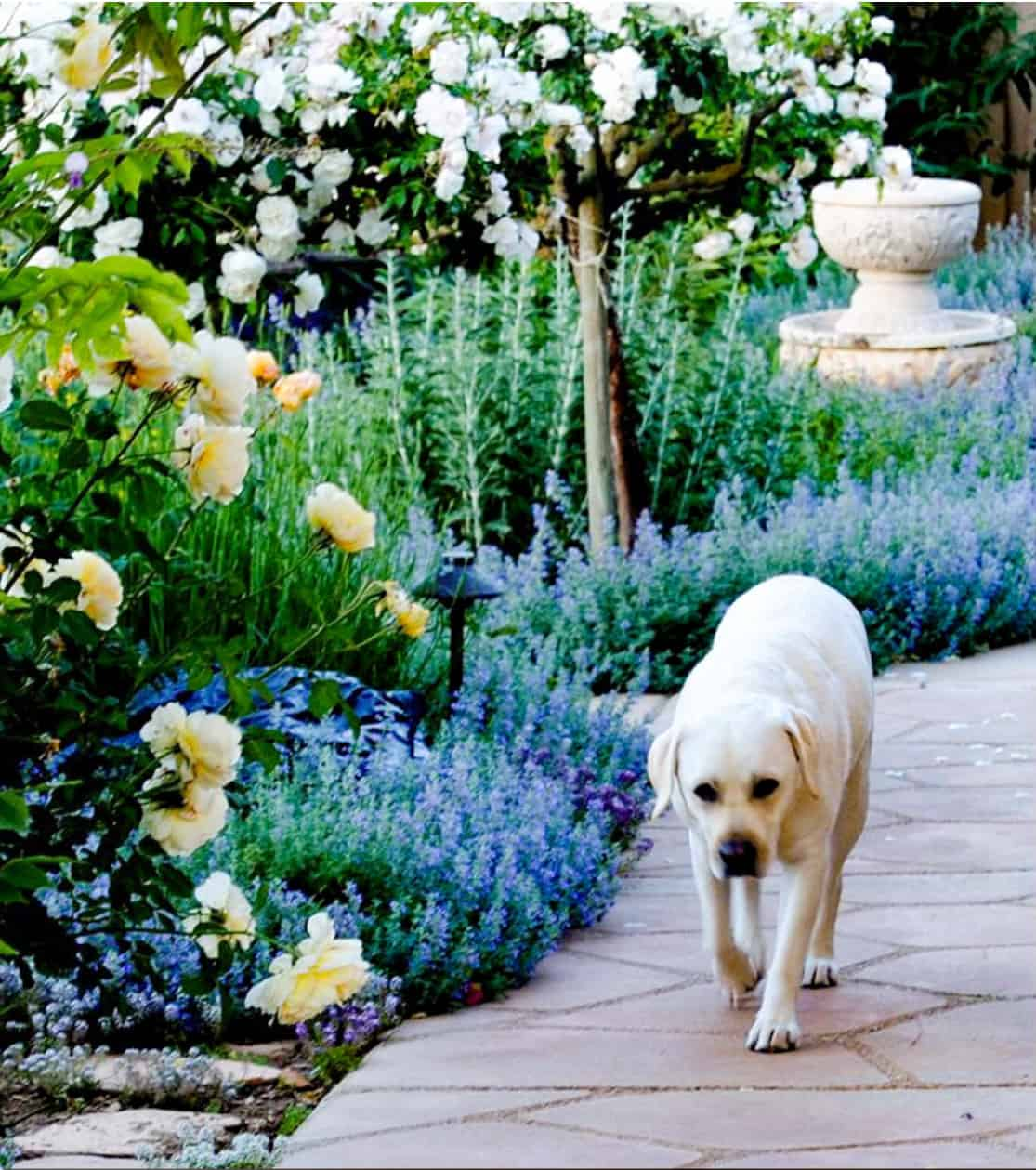 rose garden with yellow lab