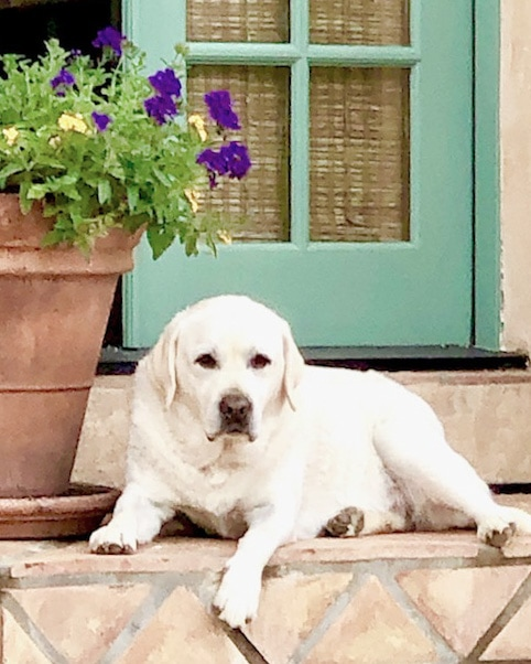 cindy hattersley's yellow lab beau laying on steps