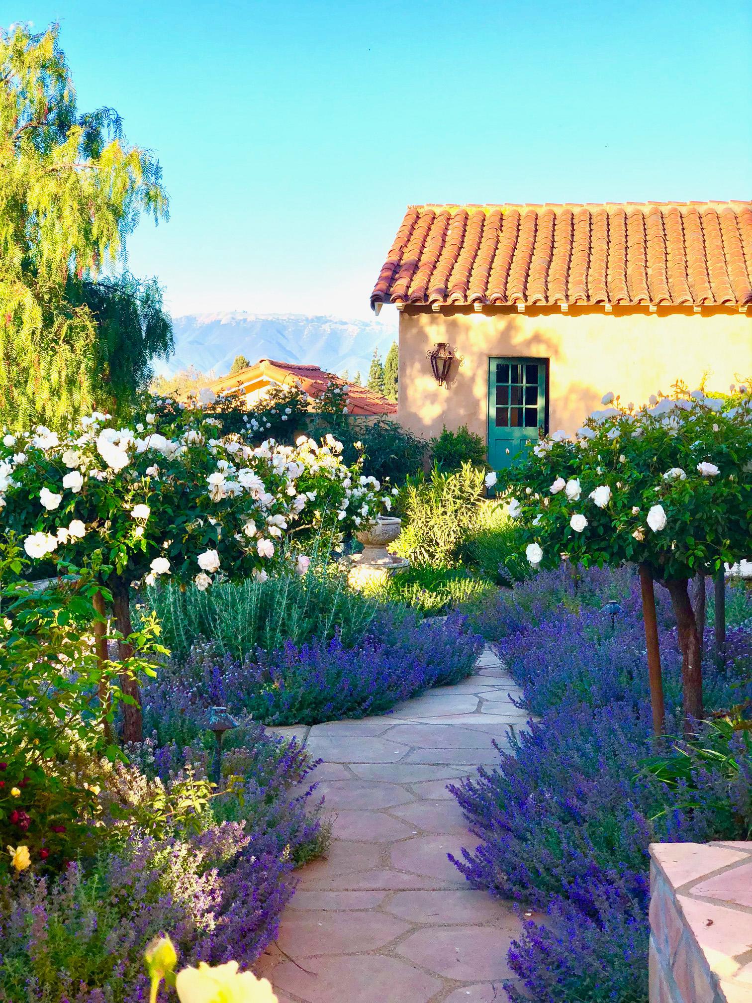 cindy hattersley's rose garden in full bloom
