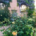 My Rose Garden-What is Blooming Right Now