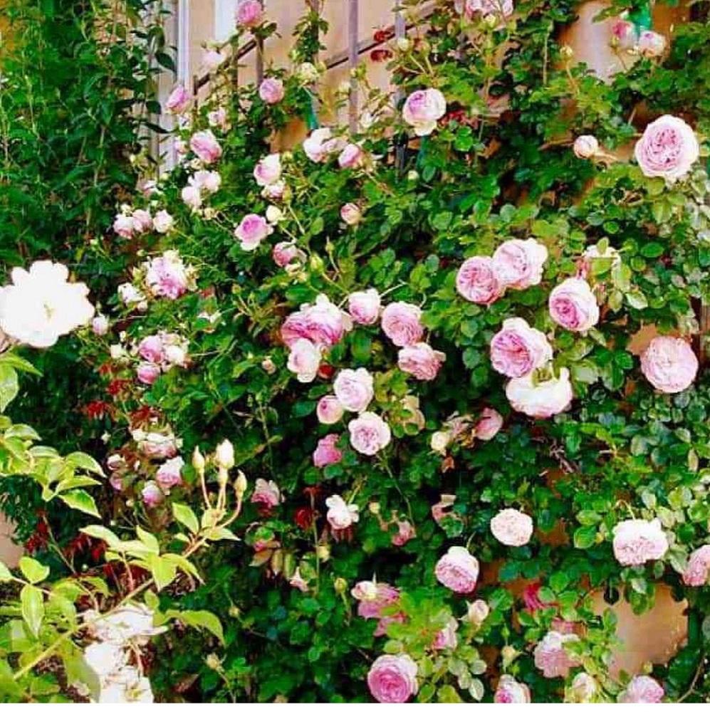 eden rose in cindy hattersley's garden