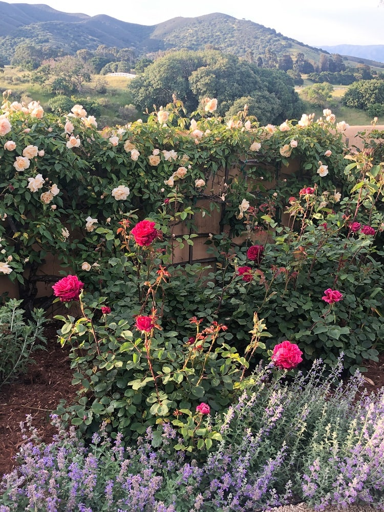 cindy hattersley's rose garden with hills behind