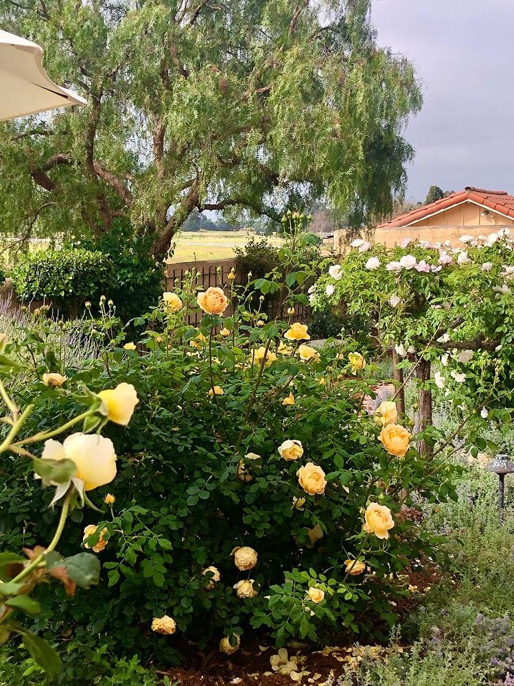 cindy hattersley's rose garden golden celebration rose