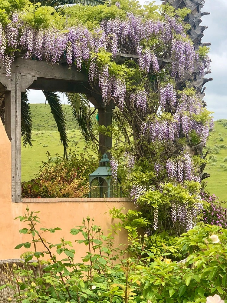 wisteria on cindy hattersleys outdoor fireplace