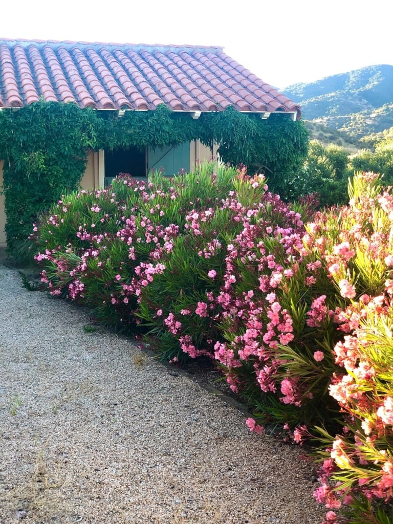 barn gravel path with oleander