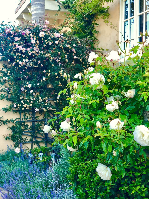 Iceberg Standard Rose in Cindy Hattersley's garden